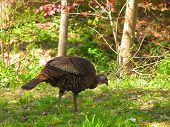 pic of wild turkey  - wild turkey looking for food - JPG