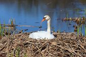 Beautiful swan on its nest in the lake