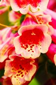 image of digitalis  - Pink foxglove flower  - JPG