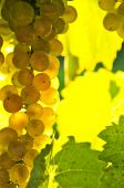 pic of grape-vine  - Yellow grapes growing on vine in bright sunshine - JPG