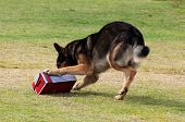 stock photo of working animal  - Working German Shepherd dog sniffing a suspecting package for drugs or explosives - JPG