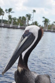 foto of airboat  - A pelican riding on our airboat as we went through the Everglades - JPG