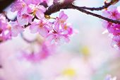 image of yellow buds  - bright pink cherry blossoms in soft pastel pink - JPG