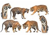 stock photo of tigers  - bengal tiger isolated collection on white background - JPG