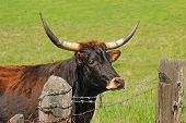 image of longhorn  - Texas Longhorn cattle in a field of green in the Umpqua Valley near Roseburg Oregon - JPG
