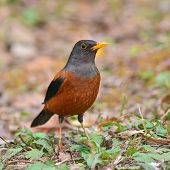 stock photo of brown thrush  - Colorful brown and black bird Chestnut Thrush  - JPG