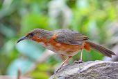 pic of babbler  - Beautiful long bills bird Rusty - JPG
