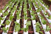 stock photo of cameron highland  - Hydroponic vegetables growing in greenhouse at Cameron Highlands