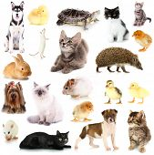 stock photo of puss  - Collage of different pets isolated on white - JPG