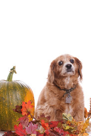 stock photo of cockapoo  - An elderly Cockapoo dog is posing for his fall portrait next to a large pumpkin isolated against a white background along with extra copyspace at the top - JPG