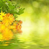 pic of chrysanthemum  - Chrysanthemum orange and yellow flowers with green leaaves and water reflection, floral background ** Note: Soft Focus at 100%, best at smaller sizes - JPG