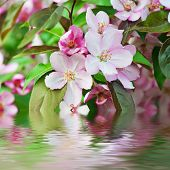 picture of apple blossom  - Apple tree pink flower blossoming at spring time  with water reflection, floral background