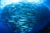 stock photo of barracuda  - Fish  - JPG
