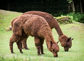 stock photo of alpaca  - Two alpacas  - JPG
