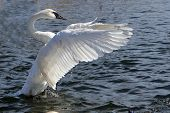 stock photo of trumpeter swan  - Trumpeter Swan Open Wings In Afternoon Sun - JPG