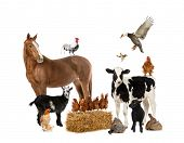 picture of herbivore animal  - Group of farm animals - JPG
