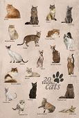 stock photo of american bombay  - Cat breeds poster in English - JPG