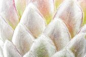 foto of fynbos  - Detail closeup of a blooming protea flower as background - JPG