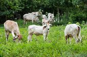 picture of caw  - Cows in green fields near the forest - JPG