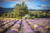 picture of lavender field  - Lavender field and tree in Provence France Europe - JPG
