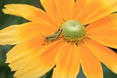 foto of black-eyed susans  - Shining Coneflower and Grasshopper - JPG