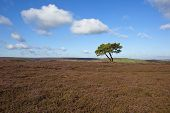 stock photo of windswept  - a lone pine tree on a windswept heather moorland in late summer on the north york moors - JPG