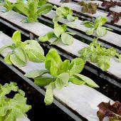 foto of hydroponics  - Organic hydroponic vegetable cultivation farm  - JPG