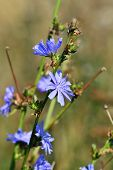 pic of chicory  - Beautiful blue flowers of chicory close up - JPG
