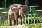 image of zoo  - African elephant in the zoo - JPG