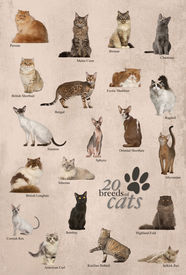 foto of american bombay  - Cat breeds poster in English - JPG