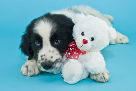 image of newfoundland puppy  - Adorable Newfoundland puppy snuggling with a cute little teddy bear on a blue background - JPG
