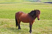 picture of bay horse  - Warm summer day in Iceland - JPG