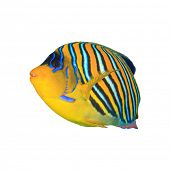picture of angelfish  - Tropical fishisolated - JPG