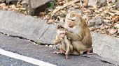 image of monkeys  - Clean the mother monkeys are monkeys  - JPG