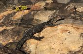 image of goanna  - Large monitor lizard on stone in Sri Lanka - JPG