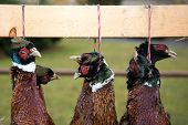 foto of pheasant  - The heads of a dead colored pheasants - JPG
