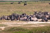 stock photo of wildebeest  - A Wildebeest mother and newly born calf Ngorongoro Crater Tanzania. ** Note: Soft Focus at 100%, best at smaller sizes - JPG