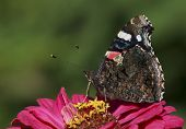 picture of zinnias  - Red Admiral butterfly on zinnia flower over green - JPG