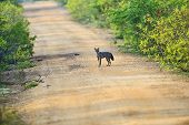 picture of jackal  - Jackal in the jungles of Sri Lanka - JPG