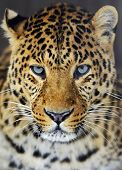 foto of leopard  - Leopard in the wild on the island of Sri Lanka