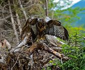 pic of buzzard  - Buzzard in their natural habitat in the highlands