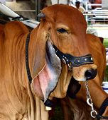 picture of zebu  - Brown cow in a contest for animals. ** Note: Soft Focus at 100%, best at smaller sizes - JPG