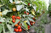 picture of tomato plant  - beautifull photo with tomatoes plants growing inside a greenhouse - JPG