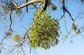 picture of mistletoe  - christmas mistletoe growing on tree horyzontal orientation - JPG