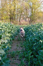 image of shepherdess  - shepherdess dog running in rape flower field - JPG