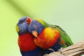 image of lorikeets  - two Rainbow Lorikeet the preen each other - JPG