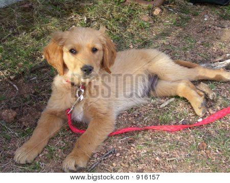 Picture or Photo of Golden retriever puppy taking a break from a hard day of play