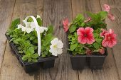 stock photo of petunia  - Two plastic flowerpots with white and pink petunia seedlings on the aged wooden table.