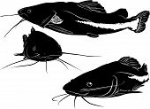 foto of catfish  - Black and white vector illustration of a catfish - JPG