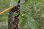 pic of pesticide  - Green cherries branches with immature fruit under the spray of pesticides - JPG